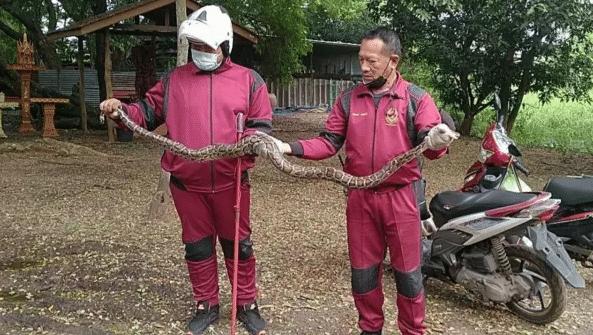 งูเหลือมบุกเขมือบไก่